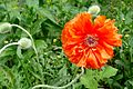 Poppy Flowe.jpg