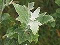 Populus alba Topola biała 2020-06-29 05.jpg