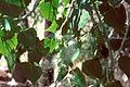 Populus deltoides monilifera foliageseeds.jpg