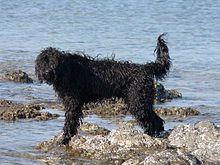chien d'eau — Wiktionnaire - photo#40