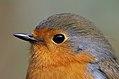 Portrait of a European Robin (Erithacus rubecula), Parc du Rouge-Cloître, Brussels (33158147074).jpg