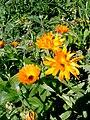 Pot Marigold (Calendula officinalis).jpg
