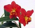 Potinara Chief Jewel -香港花展 Hong Kong Flower Show- (13214868925).jpg