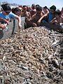 Praia de Mira peixe para a lota.jpg