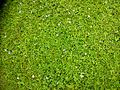 Pratia alternata (Lawn Lobelia) invading a lawn..jpg