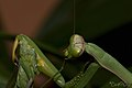 Praying Mantis Sexual Cannibalism European-35.jpg