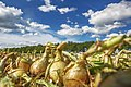 Precision harvesting of Holland Onions.jpg