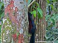 Prevost's Squirrel (Callosciurus prevostii pluto) (8082907448).jpg