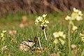 Primula elatior with Bombylius discolor specimen 2020-04-06 HBP.jpg