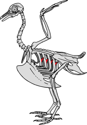 Uncinate processes of ribs - This stylised bird skeleton highlights the uncinate processes