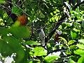 Procnias averano -Trinidad-8.jpg
