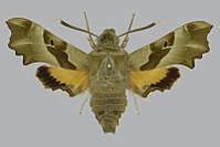 Proserpinus proserpina BMNHE813405 male up.jpg