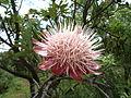 Protea caffra, oop blomhoof, Voortrekkermonument-NR, a.jpg