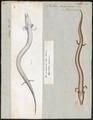 Proteus anguinus - 1700-1880 - Print - Iconographia Zoologica - Special Collections University of Amsterdam - UBA01 IZ11400199.tif