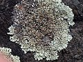 Protoparmeliopsis muralis 125043080.jpg