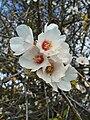 Prunus dulcis 002.JPG