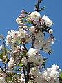 Prunus groupe Sato Zakura 'Shirotae' (Jardin des Plantes de Paris) 4.jpg