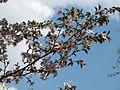 Prunus incisa 01.JPG