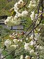 Prunus lannesiana Wils cv Grandiflora03.jpg