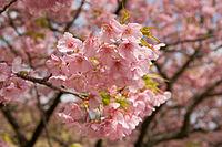 Prunus lannesiana cv. Kawazu-zakura 02.jpg
