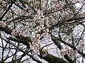 Prunus x yedoensis3.jpg