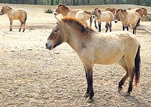 a sand-colored primitive horse with a large head and rough coat with several other similar animals in the background