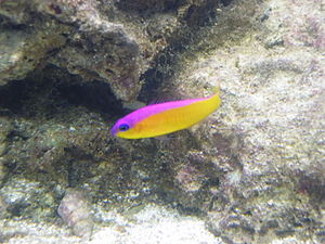 Chromatophore -  The purple-striped dottyback, Pseudochromis diadema, generates its violet stripe with an unusual type of chromatophore.