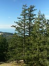Several tall douglas-fir trees with a blue sky and water in the background.