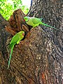 Psittacula krameri -near Qutab Complex, New Delhi, India -pair-8.jpg