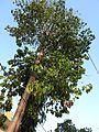 Pterygota alata-1-salem town-India.jpg