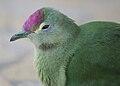Ptilinopus greyii -mainland of New Caledonia- sub-adult -7.jpg