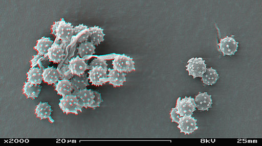Puffball spores in SEM stereoscopic, magnification 2000x