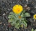 Pulicaria canariensis - Flickr - S. Rae.jpg