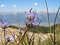 Purple flower on Innsbruck mountainside - panoramio.jpg