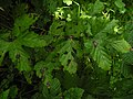 Purple spots caused by the fungus Ramularia ulmariae on leaves of meadowsweet (Filipendula ulmaria).jpg