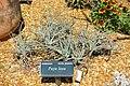 Puya laxa - Marie Selby Botanical Gardens - Sarasota, Florida - DSC01303.jpg