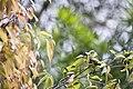 Pycnonotus sinensis (26063345795).jpg