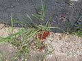 Pyrrhocoris apterus 2009 01.JPG