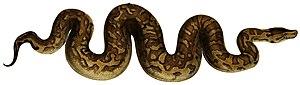 Evolution of snake venom - 80 px