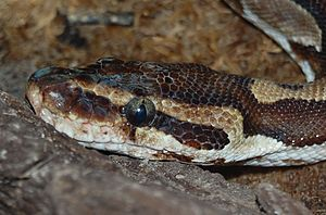 Ball python - Close-up of head