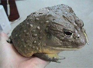 <i>Pyxicephalus</i> genus of amphibians