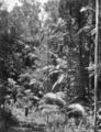 Queensland State Archives 220 Bush land between Eumundi and Noosa Heads c 1931.png