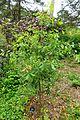Quercus canariensis × faginea - Hillier Gardens - Romsey, Hampshire, England - DSC04666.jpg