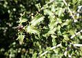 Quercus coccifera kz3.jpg
