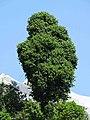 Quercus floribunda.jpg