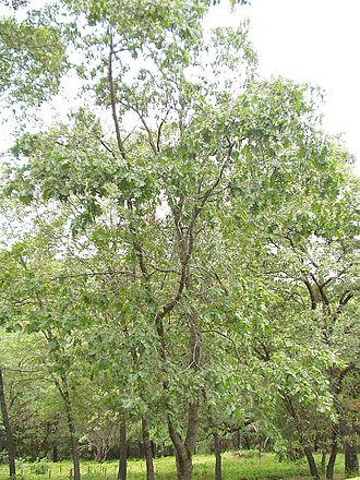Quercus kelloggii - Young California black oaks