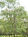 Quercus kelloggii (tree).jpg