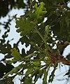 Quercus pubescens RF.jpg