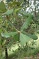 Quercus rugosa kz01.jpg