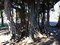 Racines de banyan (3799734775).jpg